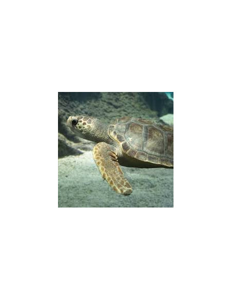 Tortue caouanne Marineland