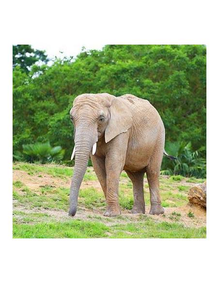Éléphant ZooParc de Beauval