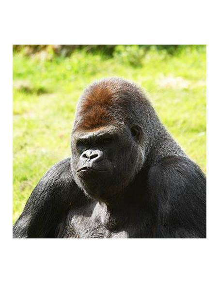 Gorille ZooParc de Beauval