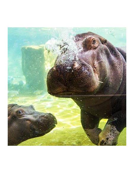 Hippopotame ZooParc de Beauval