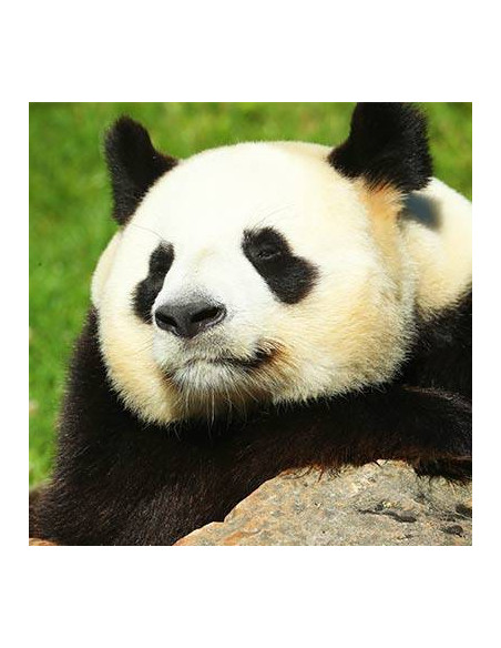 Panda Géant ZooParc de Beauval