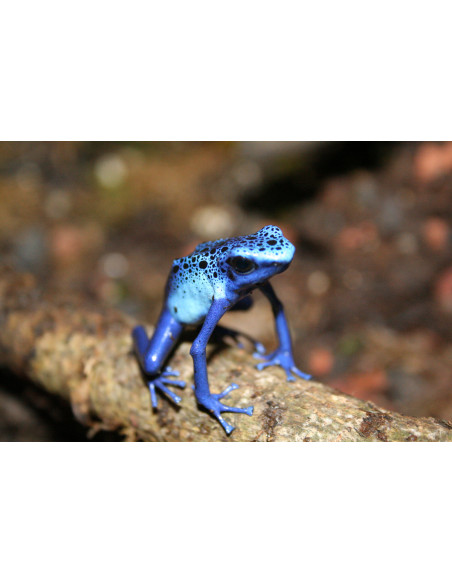 Grenouille Bleu Serre Amazonienne