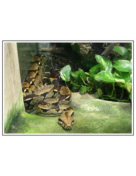 Serpent de la Serre Amazonienne