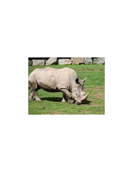 Rhinocéros Blanc Planète Sauvage