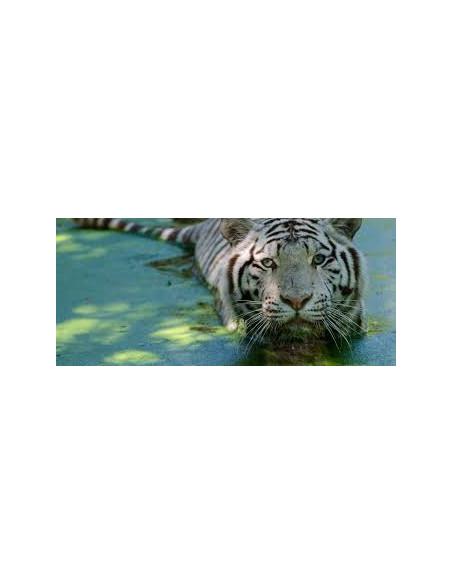 Tigre blanc Zoo de Bordeaux Pessac
