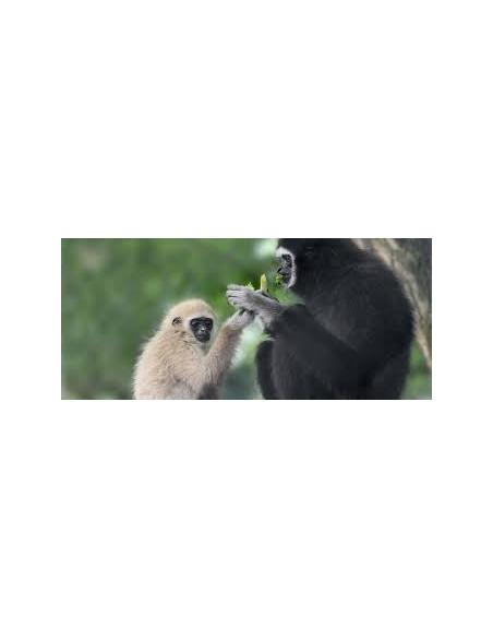 Gibbon à main blanche Zoo de Bordeaux Pessac