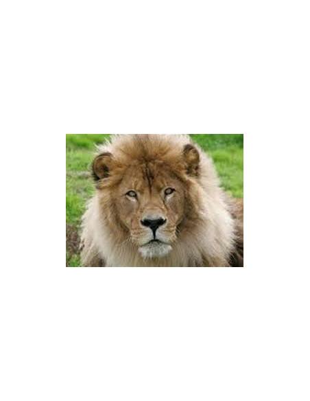 Lion Zoo de Pont Scorff