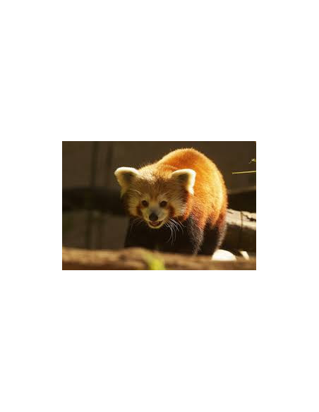 Panda roux Zoo de Pont Scorff