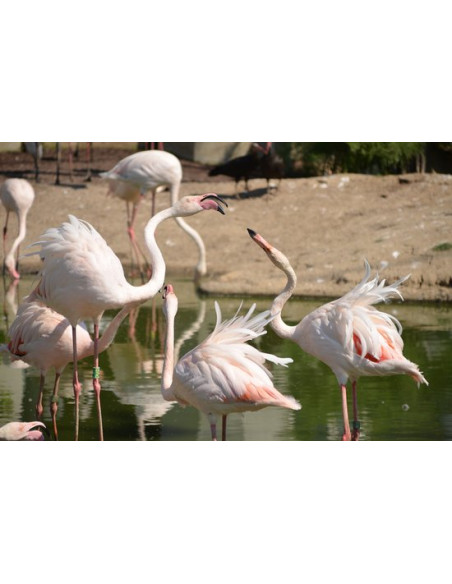 Flamant rose Parc Zoologique de Paris