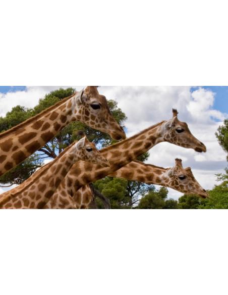 Girafes Zoo la Barben