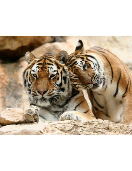Tigres Zoo la Barben