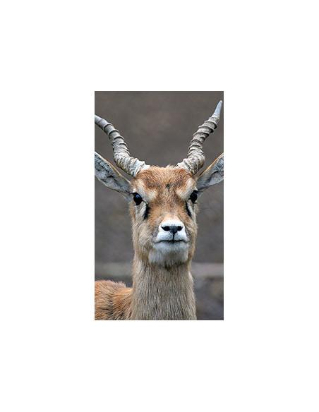 Antilope cervicapre Touroparc